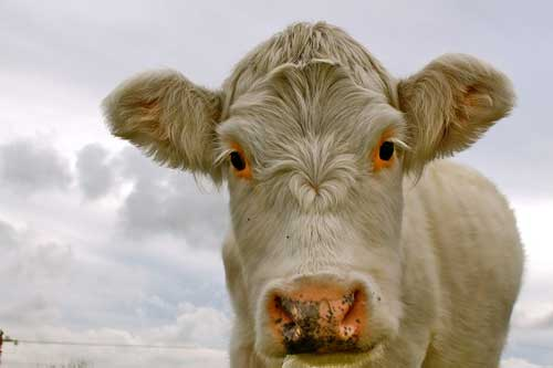 osteopathe vache